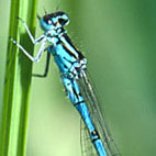 coenagrion ornatum