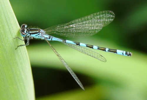 Coenagrion ornatum Vogel-Azurjungfer male