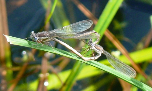 Sympecma fusca couple